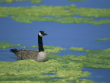 Canada Goose in a Eutrophic Pond, Branta Canadensis, North America Photographic Print by John & Barbara Gerlach