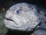 Wolf-Eel Head (Acarrhicthys Ocellatus) Alaska to Southern California, USA Photographic Print by Ken Lucas
