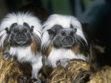 Cotton-Top Tamarins (Saguinus Oedipus), a New World Rainforest Primate, Columbia, South America Photographic Print by Ken Lucas