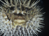 Spiny Pufferfish or Balloon Fish Inflated, Diodon Holocanthus Photographic Print by David Fleetham