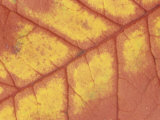 Close-Up of a Fall Sourwood Leaf Showing Veins, Oxydendrum Arboreum, Tennessee, USA Photographic Print by Adam Jones