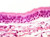 Human Trachea Ciliated Epithelium Photographic Print by Fred Hossler
