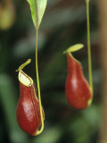 A Pitcher Plant, Nepenthes Coccinea Photographic Print by Adam Jones