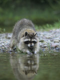 Raccoon Washing its Hands and Food, Procyon Lotor, North America Photographic Print by Joe McDonald