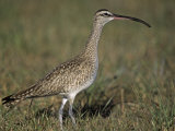 Whimbrel, Numenius Phaeopus, Florida, USA Photographic Print by Gary Meszaros
