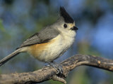 Black-Crested or Mexican Titmouse, Baleolophus Atricristatus, Texas, USA Photographic Print by Arthur Morris