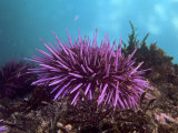 Purple Sea Urchin, Strongylocentrotus Purpuratus, Pacific Coast of North America Fotografie-Druck von David Wrobel