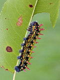 Saturnid Moth Caterpillar (Antherina Suraka) Feeding on a Leaf Photographic Print by Leroy Simon