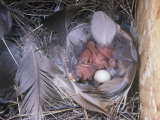 Tree Swallow Nest with Hatchlings and an Unhatched Egg, Tachycineta Bicolor, North America Photographie par Charles Melton