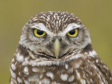 Burrowing Owl Head, Athene Cunicularia, Florida, USA Photographic Print by Fritz Polking