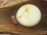 Swell Shark Embryo, One Month Old, in an Opened Egg Case, Cephaloscyllium Ventriosum Photographic Print by Alex Kerstitch