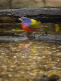 Painted Bunting, Passerina Ciris, Male Photographic Print by Jack Michanowski