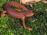 California Newt (Taricha Torosa). California, USA Photographic Print by Michael Redmer