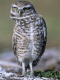 Burrowing Owl, Athene Cunicularia, Bobbing its Head for Better Binocular Vision, North America Photographie par Beth Davidow