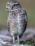 Burrowing Owl, Athene Cunicularia, Bobbing its Head for Better Binocular Vision, North America Fotoprint van Beth Davidow