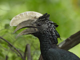 Silvery-Cheeked Hornbill Male Head, Ceratogymna Brevis, Lake Manyara, Tanzania, Africa Photographic Print by Arthur Morris