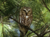 Northern Saw-Whet Owl (Aegolius Acadius) in a White Pine (Pinus Strobus), North America Photographie par Steve Maslowski