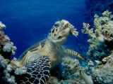 Hawksbill Sea Turtle (Eretmochelys Imbricata) Eating Soft Corals Photographic Print by Reinhard Dirscherl