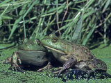 Bullfrogs in a Pond, , Rana Catesbeiana Photographic Print by Joe McDonald