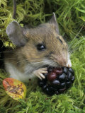 White-Footed Mouse, Peromyscus Leucopus, Eating a Berry, Ohio Lámina fotográfica por Gary Meszaros