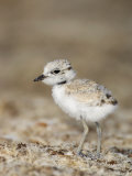 Snowy Plover (Charadrius Alexandrinus) 18 Day Old Chick Is Foraging on the Beach Photographic Print by John Cornell