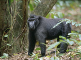 This 30 Year Old Celebes Crested Macaque (Macaca Nigra) Is Lead of a Group of 35 Apes Photographic Print by Solvin Zankl