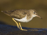 Spotted Sandpiper, Actitus Macularia, California, USA Photographic Print by John Cornell