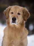 Golden Retriever Breed of Domestic Dog Photographic Print by Cheryl Ertelt