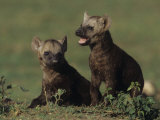 Spotted Hyena Pups, Crocuta Crocuta, Masai Mara, Kenya, Africa Photographic Print by Joe McDonald