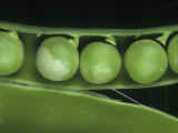 Pea Thrip (Kakothrips Pisivorus) Damage to Peas in the Pod (Pisum Sativum). England, Uk Photographic Print by Nigel Cattlin