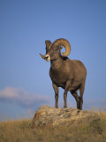 Bighorn Sheep Ram, Ovis Canadensis, Yellowstone National Park, Montana, USA Papier Photo par Charles Melton