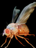Fruit Fly, Drosophila Melanogaster, an Important Laboratory Organism in Genetics Photographic Print by David Phillips