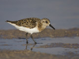 Semipalmated Sandpiper, Calidris Pusilla, North America Photographic Print by John Cornell