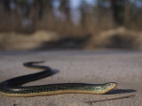Eastern Glass Lizard (Ophisaurus Ventralis), a Species of Legless Lizard, North America. Photographic Print by Jim Merli