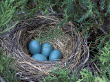 Robin Nest with Eggs, Turdus Migratorius, USA Lámina fotográfica por David Cavagnaro