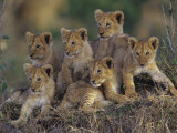 Six African Lion Cubs, Panthera Leo, Watching and Waiting for Mom to Return, Kenya Photographic Print by Joe McDonald