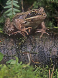 Wood Frog (Rana Sylvatica), USA Photographic Print by Joe McDonald