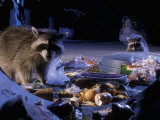 Raccoons (Procyon Lotor) Raiding an Urban Garbage Can in Portland, Oregon Photographic Print by Michael Durham