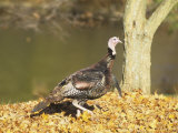 Male or Tom Wild Turkey (Meleagris Gallopavo), North America Photographic Print by Steve Maslowski