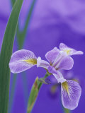 Siberian Iris Flower (Iris Siberica), Skywings Variety Photographic Print by Wally Eberhart