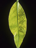 Citrus Leaf Miner (Phllocnistis Citrella) Trails in a Lemon Leaf (Citrus Limon). England, Uk Photographic Print by Nigel Cattlin