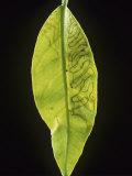 Citrus Leaf Miner (Phllocnistis Citrella) Trails in a Lemon Leaf (Citrus Limon). England, Uk Photographic Print by Nigel Cattlin