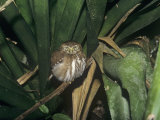 Ferruginous Pygmy-Owl (Glaucidium Brasilanum), Belize, Central America Photographic Print by Rick & Nora Bowers
