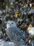 Joe McDonald - Snowy Owl (Nyctea Scandiaca), Canada Fotografická reprodukce
