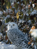 Snowy Owl (Nyctea Scandiaca), Canada Photographic Print by Joe McDonald