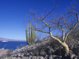 Elephant Tree or Torote, Bursera Microphylla, Sea of Cortez, Baja California, Mexico Photographic Print by David Matherly
