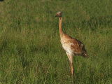 Whooping Crane Chick, Grus Americana, an Edangered Species, North America Photographic Print by John Cornell