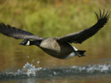 Canada Goose Taking Off, Branta Canadensis, North America Photographic Print by Arthur Morris