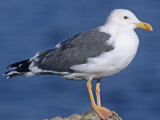 Yellow-Footed Gull (Larus Livens) Salton Sea, California, USA Photographic Print by Gary Meszaros