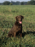 Chocolate Labrador Retriever Variety of Domestic Dog Photographic Print by Cheryl Ertelt